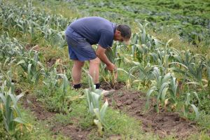 Ed Galea picks garlic resize